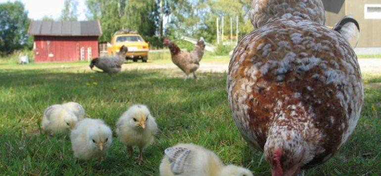 Tiput ja kana maatilan pihapiirissä.