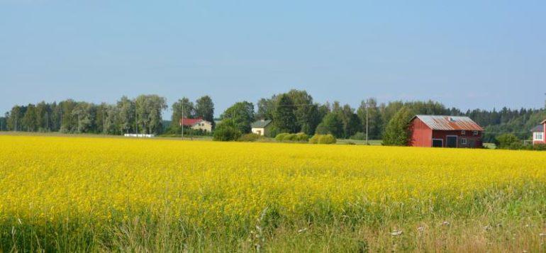 Maaseutumaisema, keltainen pelto ja sininen taivas.