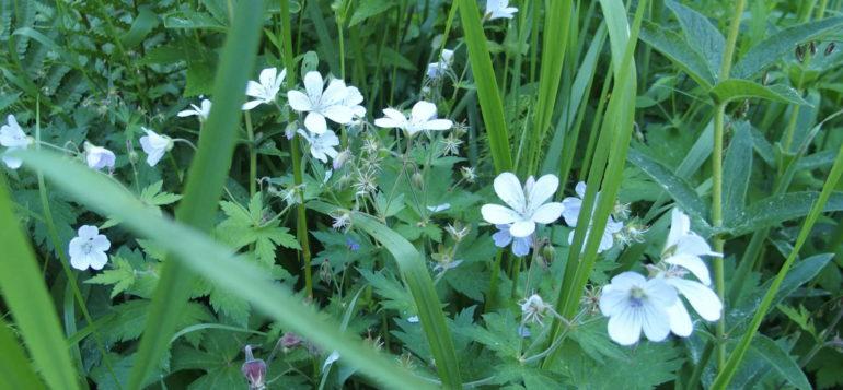 Valkoisia kukkia saaristossa
