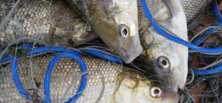 Kalastettuja kaloja päällekkäin lähikuvassa.