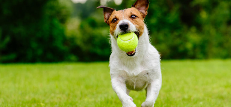 koira juoksee pallon kanssa kesällä