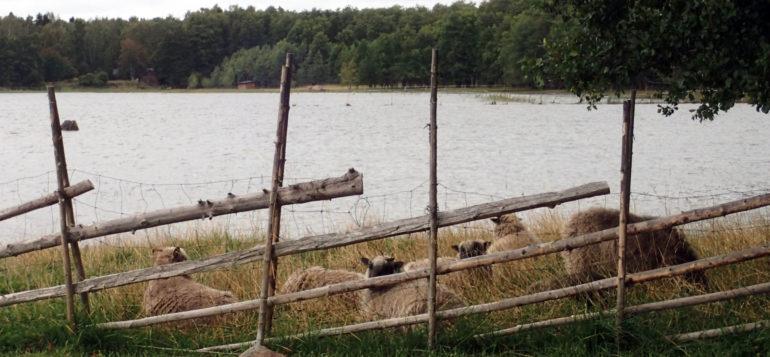 Lampaat makoilemassa Rauman saaristossa.